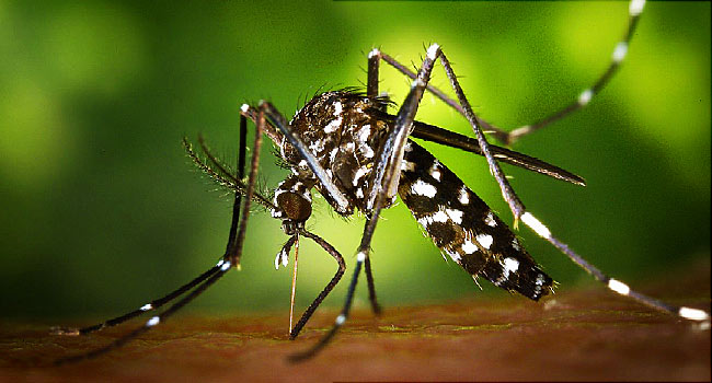 Mosquito (courtesy photo)